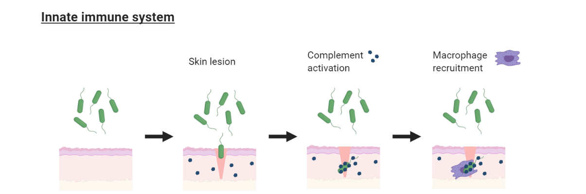 The innate immune system. After an injury, for example a skin lesion, harmful pathogens may enter the wound. Complement proteins activate, and attach to the pathogen. These proteins can identify and trap pathogens. Once this happens, immune cells like macrophages (pictured here) and natural killer cells become activated to help destroy the pathogen.